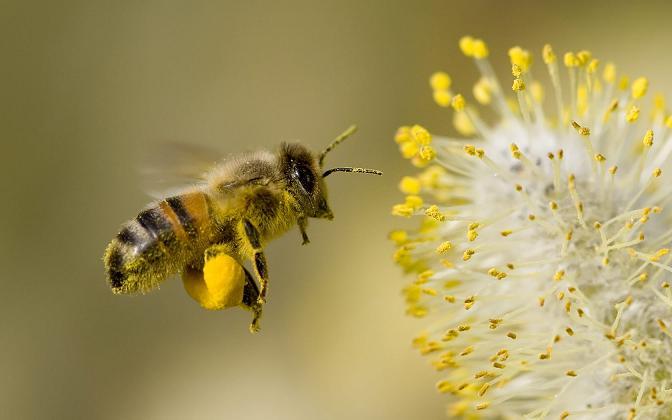 Granulated Bee Pollen Stock Photos - Image: 22974583